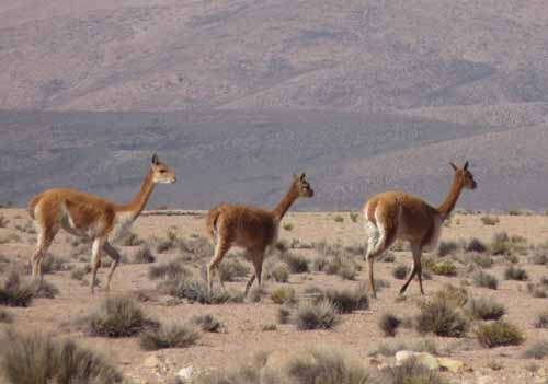 Guanacos, Chile