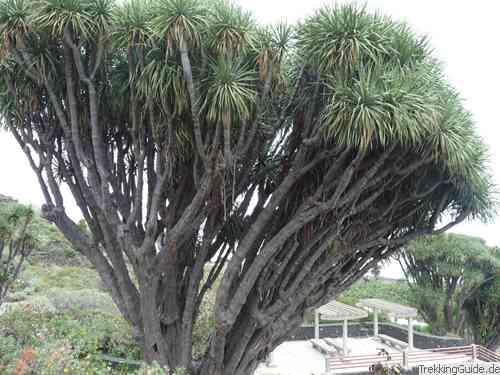 Die Pflanzenwelt Der Kanarischen Inseln