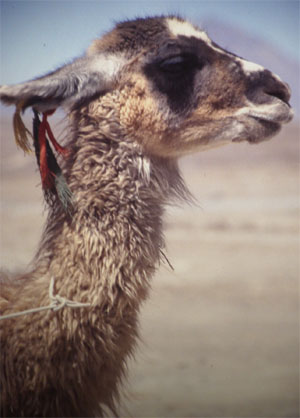 Lama, Alpaca, Guanaco, Vicuña: Tiere im Hochgebirge